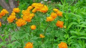 Trollius asiaticus pomarańcze kwitnie pod deszczem zbiory
