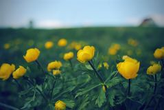 Trollius blooming yellow flowers on a green background royalty free stock photography