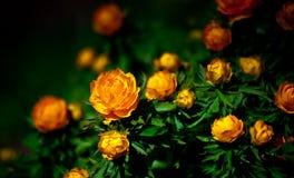 Trollius bush grows in the botanical garden, very dark background Royalty Free Stock Photo