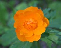 Trollius de fleur Photos stock