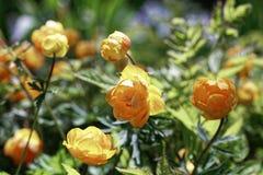 Trollius de la flor del primer Foco selectivo y profundidad del campo baja Imagen de archivo libre de regalías