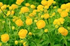 Trollius dei fiori Immagine Stock Libera da Diritti