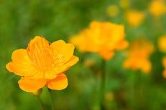 Trollius dei fiori Fotografia Stock