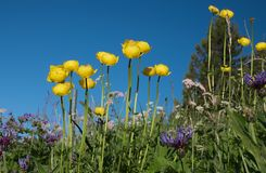 Trollius and devils claw flowers Stock Photography