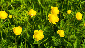 Trollius europaeus Royalty Free Stock Photography