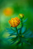 Trollius europaeus. Flowering globe flowers. The Bush of the globe on the background of forest meadows covered with flowers. Stock Photos