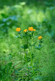 Trollius europaeus. Flowering globe flowers. The Bush of the globe on the background of forest meadows covered with flowers. Royalty Free Stock Photos