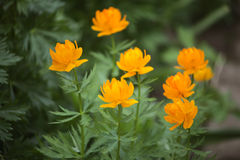 Trollius orange. Orange flower grown in the garden in summer Stock Photography