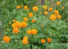 Trollius ou zharki das flores Fotos de Stock Royalty Free