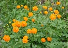 Trollius ou zharki de fleurs Photos libres de droits
