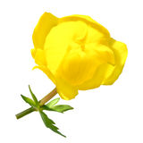Trollius plant flower Stock Photos