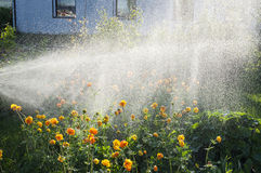 Trollius watering Stock Photography