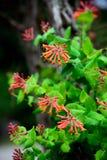 Tromba Honeysuckle Flowers Fotografie Stock Libere da Diritti