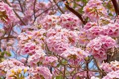 Tromba rosa Fotografia Stock Libera da Diritti