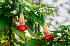 Trombeta alaranjada de florescência do estramônio ou do anjo Fotos de Stock Royalty Free