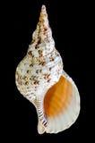 Trombeta de Triton ou de tritonis de Charonia concha do mar Imagem de Stock