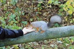 A trombeta do esquilo come amendoins com uma mão no parque Fotografia de Stock