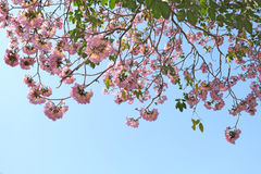 Trombeta do rosa da flor de Tebebuia Imagens de Stock Royalty Free