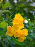 Trombeta dourada, cathartica do Allamanda Fotos de Stock Royalty Free