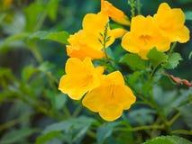 Trombeta dourada, cathartica do Allamanda Imagens de Stock Royalty Free