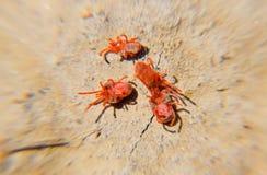 在地面上的节肢动物小蜘蛛 宏观红色天鹅绒小蜘蛛的关闭或 库存图片
