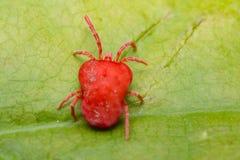 Trombidiidae Velvet Mite Royalty Free Stock Images