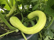 Tromboncino squash or climbing courgette. Tromboncino summer squash growing on a plant, also known as a climbing courgette royalty free stock images
