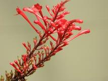 Trompet Honeysuckle Red Spiky Flower stock afbeelding