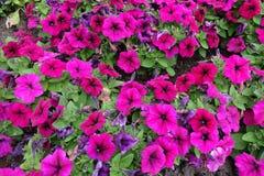Trompete formte magentarote farbige Blumen der Petunie stockfotos