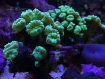 Trompete Kriptonite-Koralle auf einem Riff-Behälter lizenzfreie stockfotografie