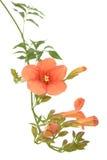 Trompetekriechpflanze Stockbilder