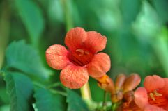 Trompeten-Kriechpflanze Lizenzfreie Stockfotos