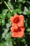 Trompeten-Kriechpflanze Lizenzfreies Stockbild