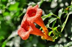 Trompeten-Kriechpflanze Stockbilder