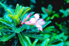 Trompeten-Reb-Kriechpflanze Campsis-radicans ist- eine blühende Pflanze von Familie Bignoniaceae, gebürtig nach USA, Europa und L stockfotografie