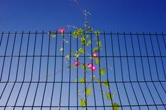 Trompetenblume auf dem Eisenzaun Stockfotos