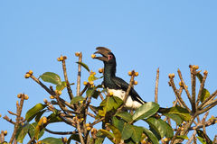 Trompeter Hornbill Stockfoto