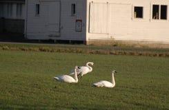 Trompeters-Schwäne auf einem Bauernhofgebiet Lizenzfreies Stockbild