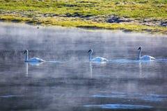 Trompetersschwäne, die im Fluss auf einem nebeligen Morgen, gelb schwimmen lizenzfreies stockfoto
