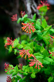 Trompette Honeysuckle Flowers photos libres de droits