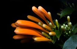 Trompette orange, fleur de flamme, vigne de pétard au-dessus de noir photos stock