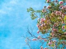 Trompette rose ou arbre et fleurs attrayants de rosea de Tabebuia de trompette avec le ciel clair bleu photographie stock libre de droits