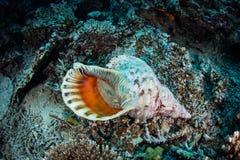 Trompette Shell de Triton image libre de droits