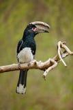 Trompetter hornbill, Bycanistes-bucinator, vogel met grote rekening, gemeenschappelijke ingezetene van de tropische altijdgroene  Stock Afbeelding
