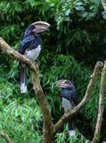 Trompetter hornbills Stock Afbeeldingen