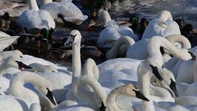 Trompetterzwanen op de Rivier van de Mississippi in Januari stock videobeelden