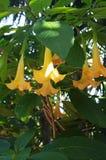 Trompetwijnstok met Gele Bloemen royalty-vrije stock afbeelding