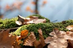 Tronçon avec de la mousse et les feuilles brunes dans la forêt photo libre de droits