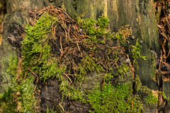 Tronçon couvert de la mousse, d'aiguilles de sapin et de fossiles d'escargots Photo stock