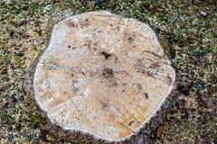 Tronçon d'arbre avec les anneaux annuels d'un arbre fraîchement abattu photo libre de droits